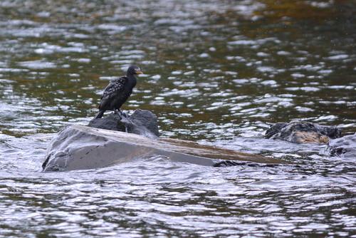 africa uganda jinja idindha sourceofthenile wildlife bird lake victoria cormorant nalubaale
