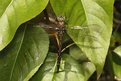 Rhionaeschna californica ♀ (California Darner) - Everett WA.