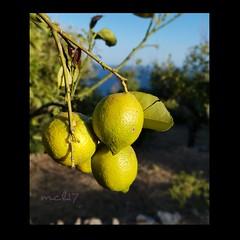 Laggiù il mate (n. 2)  #Sicilia #agrumi #limoni #raccolta #giallo #yellow #lemon #Sicily #sea #mare #raccolta #landscape
