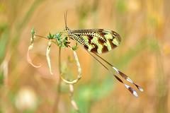 Nemopteridae