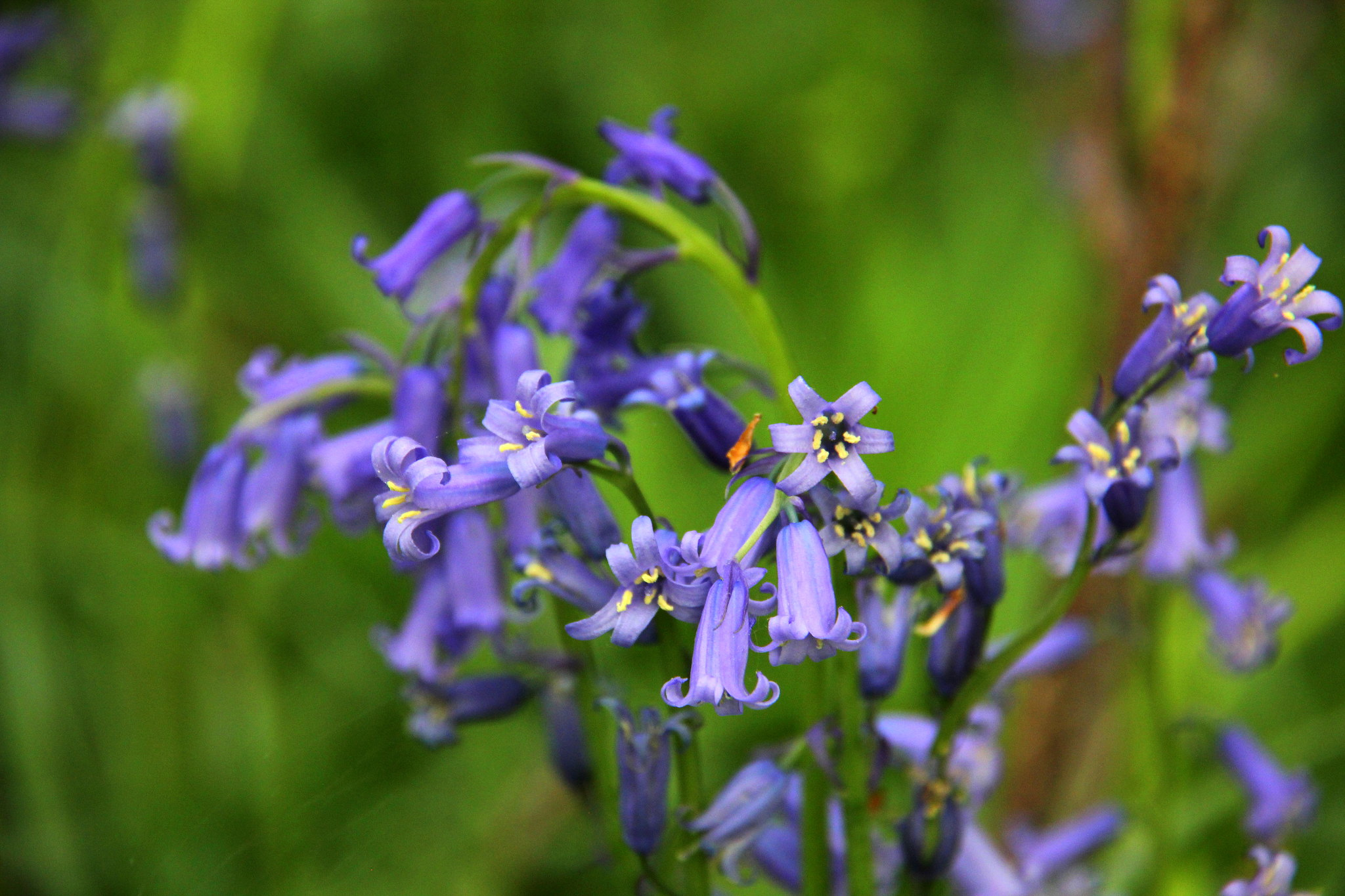 hallerbos blue forest gets its name from mass blooming of bluebells