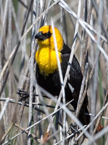 yellowheadedblackbird blackbird xanthocephalusxanthocephalus xanthocephalus newworldblackbird icterid icteridae nigelje robertlake kelowna