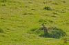 Picus viridis [GREEN WOODPECKER] England, 21.05.17