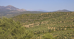 Mycenae Orange Groves