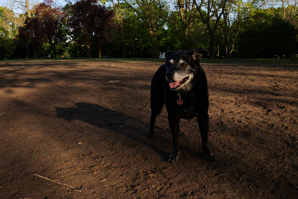 Our dog Ellie in the early morning light at the dog park