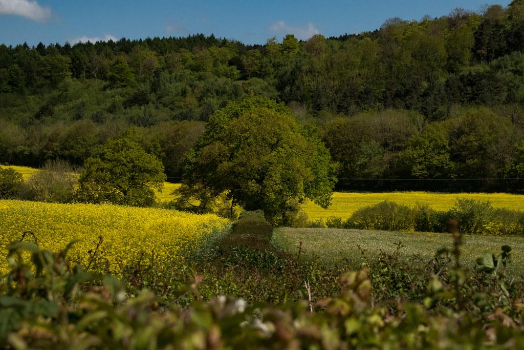 yellow fields-0118