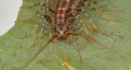 House centipede_17-05-06_14 crop 2