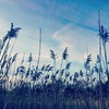Reeds  #CambMA #camberville #naturalpollutantfilter