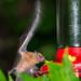 Orange Nectar Feeding Bat (Ian Talboys)