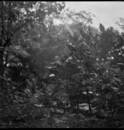 rosebush roses landscape overcast asheville northcarolina flektar flektar75mmf35 tlr twinlensreflex aristaedu400 ilfordilfosol3developer 120 film 120film mediumformat monochrome monochromatic 6x6