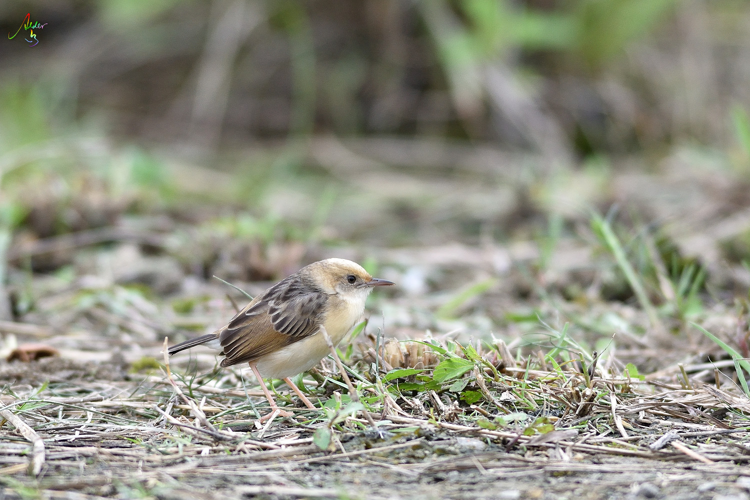 Golden-headed_Cisticola_3724