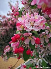 Apple Blossoms at Medina Park