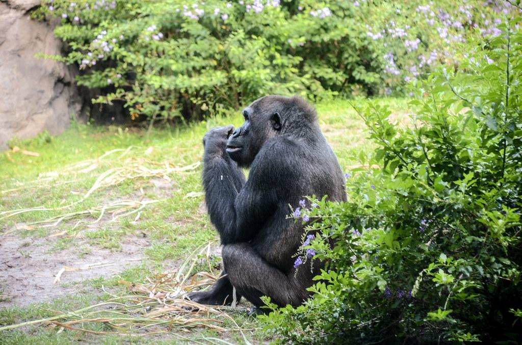 Gorilla AK