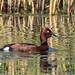 Ferruginous Duck (Judith Rolfe)