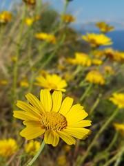 Laggiù il mare... #daisy #giallo #yellow #maggio #may