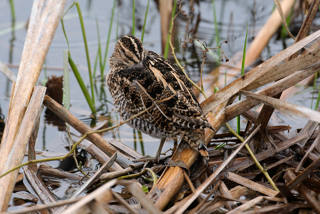 A Wilson's snipe takes a rest on a bed of reeds on a rainy spring afternoon