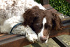 Springer Spaniel dozing in the sun