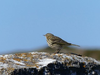 MEADOW PIPIT  P1150546
