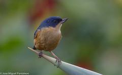 1-El diglosa payador (Diglossa sittoides) es una especie de ave de la familia Thraupidae. También es conocido por Payador o Payador canela (Argentina), Picaflor Canela (Colombia), Roba Néctar Payador.