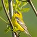 Blue-winged warbler - Glenhurst Meadows, NJ