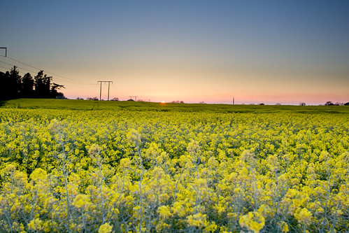 Sunset over rapeseed_