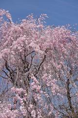 金, 2017-04-14 14:59 - New York Botanical Garden (Bronx)