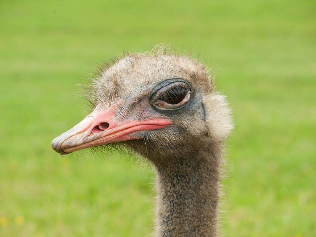 La mirada del avestruz. #cabárceno #verano2016 #travelphoto #olympus #photographyLa mirada del avestruz. #cabárceno #verano2016 #travelphoto #olympus #photography