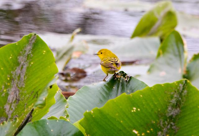 Yellow Warbler, Nikon D7000, Sigma Macro 50mm F2.8 EX DG