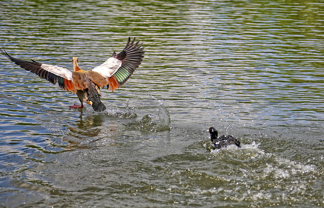 A little Coot is trying to cast out a much bigger Egyptian Goose, 5 of 5