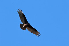 Albuquerque Turkey Buzzard