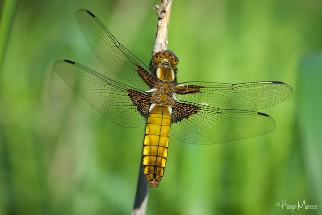 Plattbauch - Broad-bodied Chaser, Nikon D5, AF-S VR Micro-Nikkor 105mm f/2.8G IF-ED