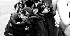 Dogs Wearing Goggles, Washington, DC (2017