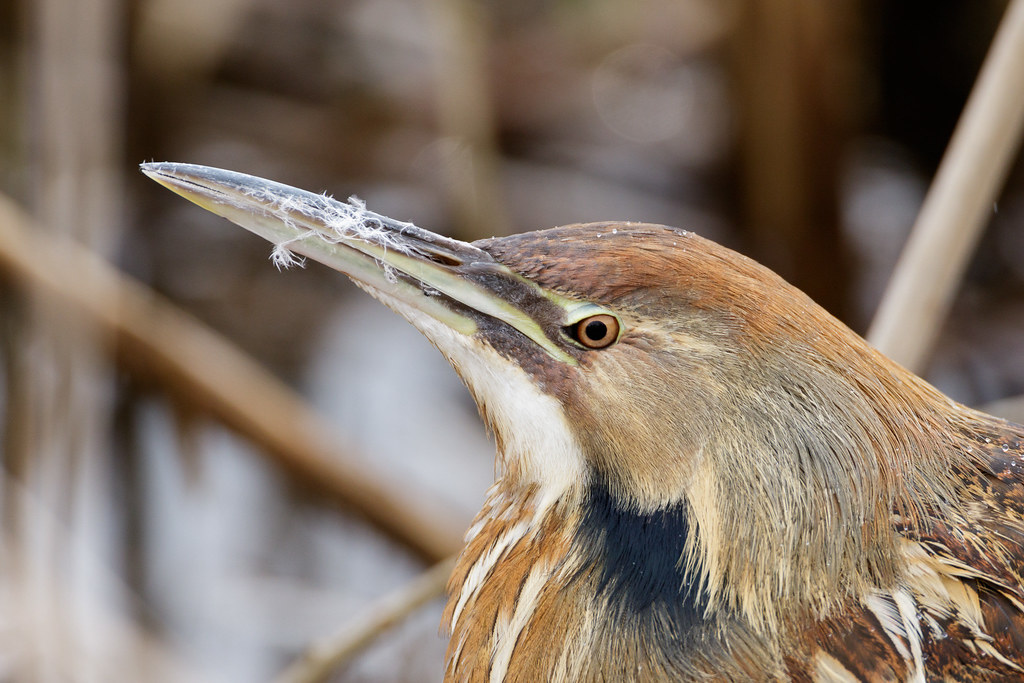 Downy feathers cling to an American bittern's beak after a preening session