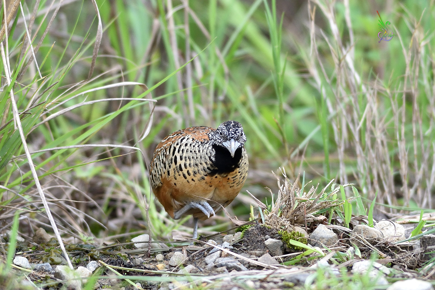 Barred_Buttonquail_2501