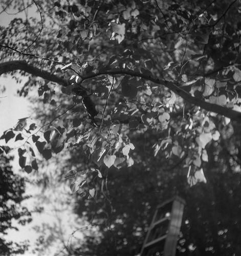 lookingup leaves backlit backlight branches yard westasheville northcarolina flektar flektar75mmf35 tlr twinlensreflex 120 120film aristaedu400 ilfordilfosol3developer mediumformat monochrome monochromatic blackandwhite landscape ladder