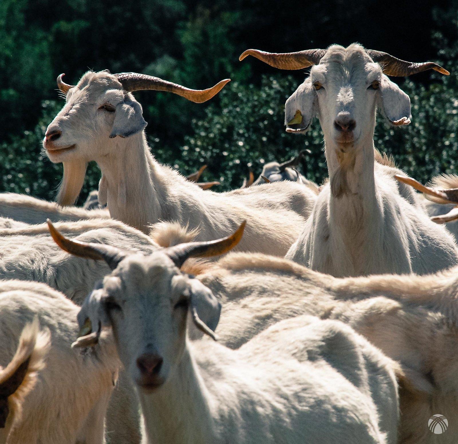 Estas cabras tienen pinta de resabiadas
