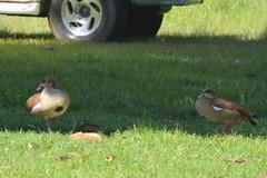 Entebbe, Uganda - Entebbe Botanical Gardens - Egyptian Geese