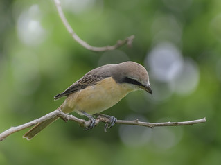 Brown shrike looking for worm