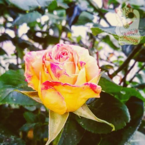 #Yellowrose #red #naturelovers #flowersandplants #macro #flowerporn #flowerstagram #excellent_nature #excellent_macros #il_fotografo_magazine #yallerscalabria #repostcalabria #calabriadaamare #ig_calabria #viewbug #yourartgallery #discoveringreventino #as