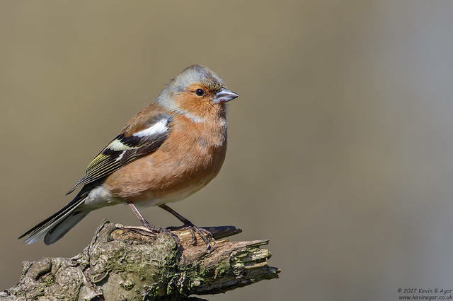 Chaffinch, Fringilla coelebs, Canon EOS 7D MARK II, Canon EF 500mm f/4L IS