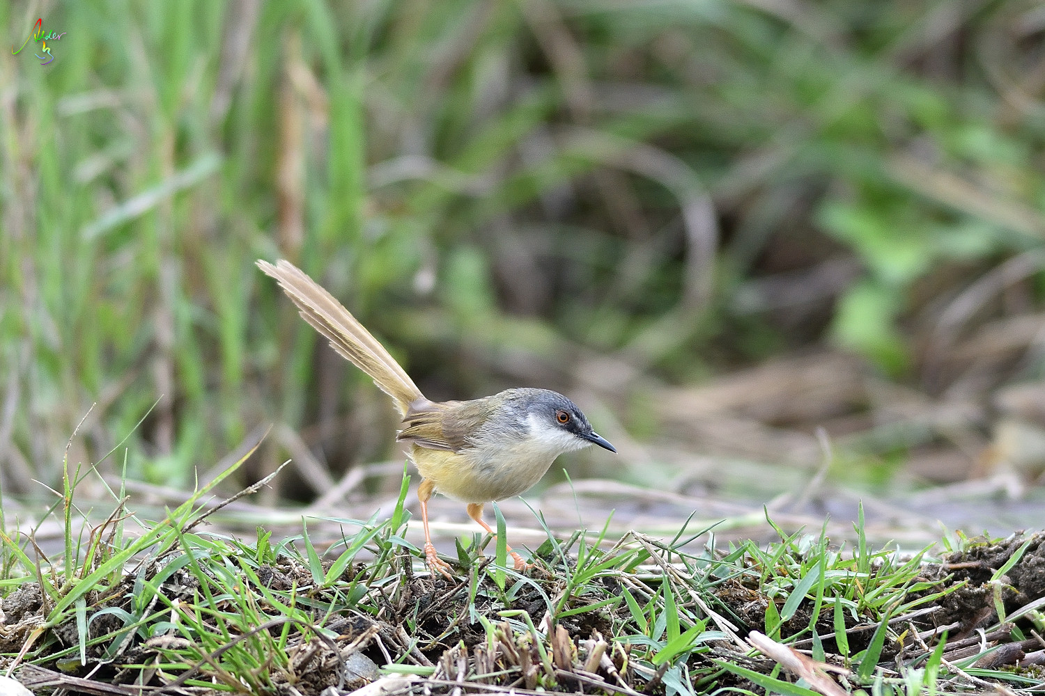 Yellow-bellied_Prinia_3063