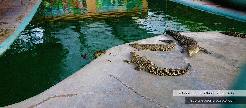 Davao Crocodile Park - Crocodile Feeding