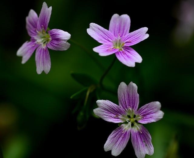 Pink Purslane Claytonia sibirica, Nikon D5200, Sigma Macro 105mm F2.8 EX DG OS HSM