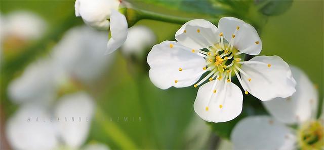 Blossom. Gloomy Day P5200582
