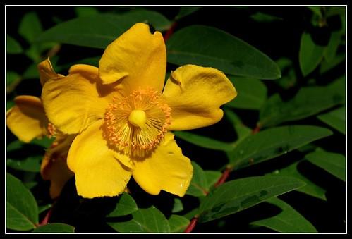Hypericum hookerianum 'Hidcote' (= Patulum 'Hidcote') 34209035470_c056aef039