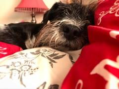 #boop #schnauzer #dog
