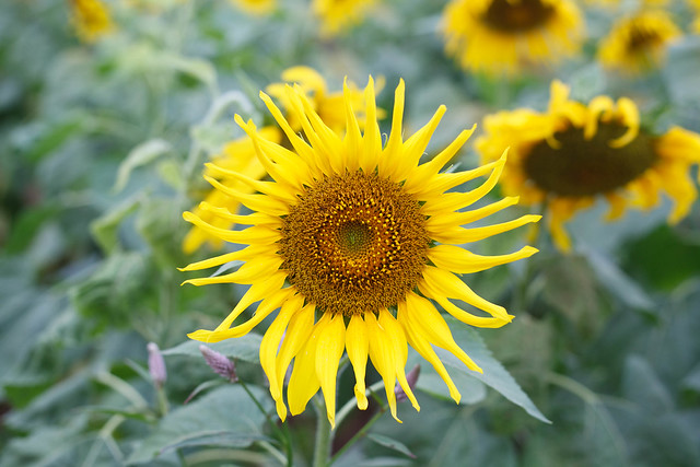 Sunflower in Nghe An province - 27 December 2016