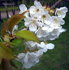 Blossom at Donington le Heath Manor House