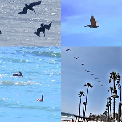 Pelicans dong their thing in San Clemente, #California #usa
