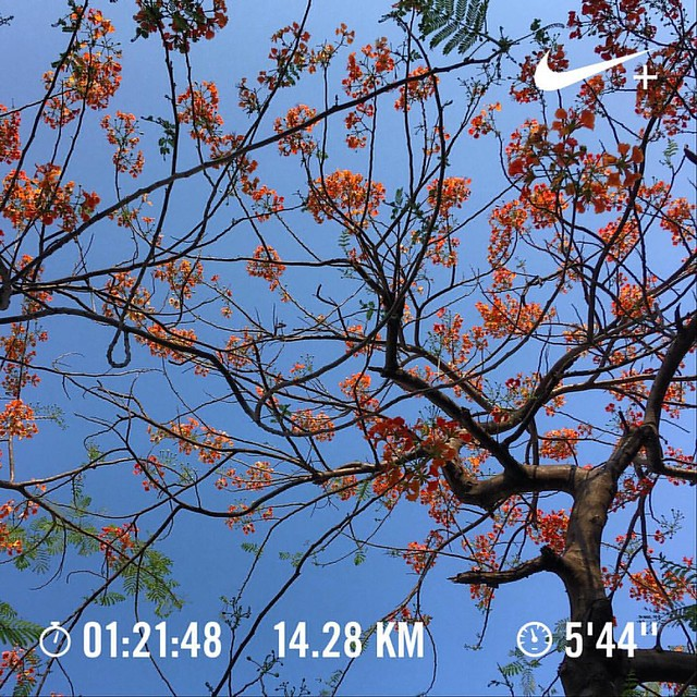 #TCS10K2017 training day #47.  14 km at easy pace. Stretch & foam roll.  #Runners360 #nikeplus #nikerunning #werun2017 #werunkalaburagi #nature #nofilter